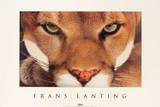 Cougar Prints by Frans Lanting