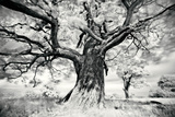 Portrait of a Tree, Study 2 Prints by Marcin Stawiarz