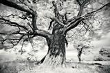 Portrait of a Tree, Study 2 Prints by Marcin Stawiarz