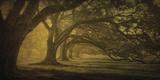 Oak Alley Morning Shadows Affiches par William Guion