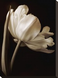 Champagne Tulip I Stretched Canvas Print by Charles Britt