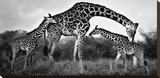 Familia de jirafas Reproducción en lienzo de la lámina por Xavier Ortega