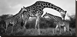 Giraffe Family Stretched Canvas Print by Xavier Ortega