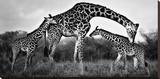 Giraffe Family Stretched Canvas Print by Xavier Ortega