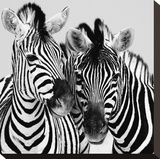 Namibia Zebras Stretched Canvas Print by Nina Papiorek