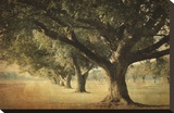 Island Oak Stretched Canvas Print by William Guion