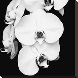 Orchid Portrait I Stretched Canvas Print by Jeff Maihara