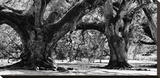 Majestic Oaks II Stretched Canvas Print by Jeff Maihara