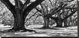 Majestic Oaks I Stretched Canvas Print by Jeff Maihara
