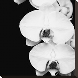 Orchid Portrait II Stretched Canvas Print by Jeff Maihara
