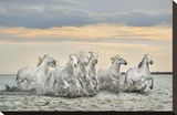 Camargue Horses - France Stretched Canvas Print by Xavier Ortega