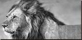 Le regard du lion Reproduction transférée sur toile par Xavier Ortega