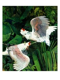 """Two Cockatoos,""September 3, 1938 Giclee Print by Julius Moessel"