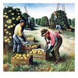 """Picking Grapefruit,""February 1, 1942 Giclee Print by John S. Demartelly"