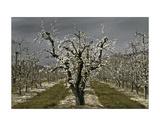 David Winston - Pear Blossoms Digitálně vytištěná reprodukce