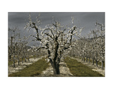 Pear Blossoms Giclee Print by David Winston