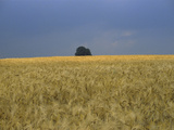 Ripe Barley Field with Single Tree Photographic Print by Rolf Hapke