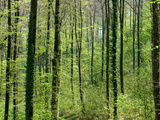 Spring Forest at Adersbach Kraichgau in Baden Wuerttemberg Photographic Print by poster photo