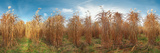 Panoramic Field of Reeds Miscanthus Photographic Print by Christian Bullinger