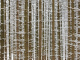 Snow-Covered Tree Trunks of Spruce Trees Photographic Print by Christian Bullinger