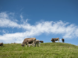 Cows Photographic Print by Alexander Bernhard