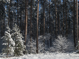 Snowy Forest in Briesetal Photographic Print