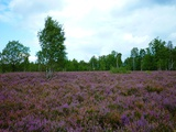 Luneburg Heath Photographic Print by Karin Schwan