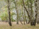 Birch Forest in Autumn Photographic Print