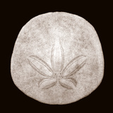 Sand Dollar - Duotone Posters by Katano Nicole