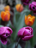 Purple and Orange Tulips Photo by Katano Nicole