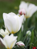 White Tulips Prints by Katano Nicole
