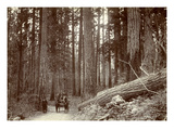 Road Cut Through Dense Trees Near Longmire Springs, Pierce County, WA, 1898 Giclee Print
