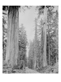 Cedar Trees, Clearwater, WA, 1936 Giclee Print by Ashael Curtis