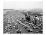 Man and Two Boys Plowing in Cabbage Field, 1916 Giclee Print by Ashael Curtis