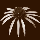 Cone Flower Duotone Photo by Katano Nicole