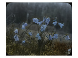 Bluebells, Olympic Peninsula, Low Divide, ca. 1924 Giclee Print by Ashael Curtis