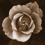 Rose - Duotone Photo by Katano Nicole