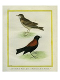 Horned Lark And Giclee Print by Georges-Louis Buffon