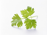 Cilantro Photographic Print