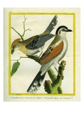 Black-Crowned Tchagra and Black-Crested Antshrike Giclee Print by Georges-Louis Buffon