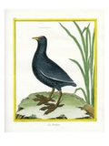 Coot Giclee Print by Georges-Louis Buffon