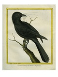 Jackdaw from the Cape of Good Hope Giclee Print by Georges-Louis Buffon