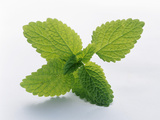Mint Leaves Photographic Print