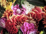 Mixed Dahlias Photographic Print by Marc O. Finley