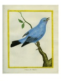 Plum-Throated Cotinga Giclee Print by Georges-Louis Buffon