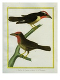 Barbets of Cayenne and of Hispaniola Giclee Print by Georges-Louis Buffon