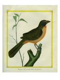 Flame-Colored Tanager Giclee Print by Georges-Louis Buffon