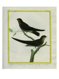 White-Throated Needletails Giclee Print by Georges-Louis Buffon