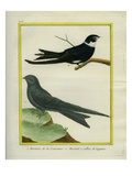 American Black Swift and White-Collared Swift Giclee Print by Georges-Louis Buffon
