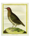 Little Tinamou Giclee Print by Georges-Louis Buffon